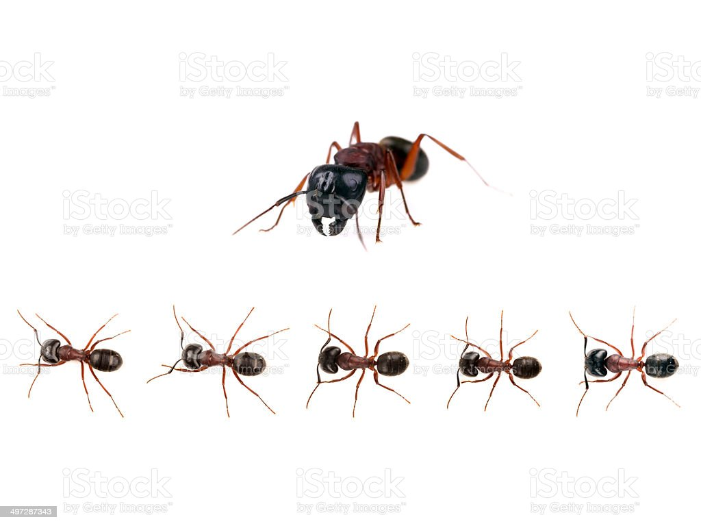 Marching ants  (Formica pratensis) XXXL Image royalty-free stock photo