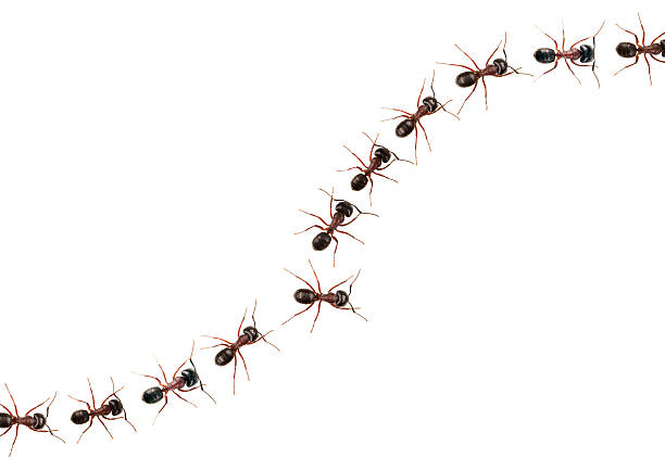 marching ants  (formica pratensis) xxxl image - ants working together stock photos and pictures