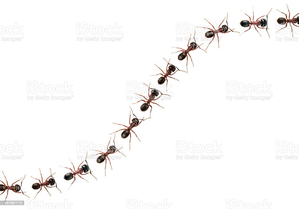 Marching ants  (Formica pratensis) XXXL Image stock photo