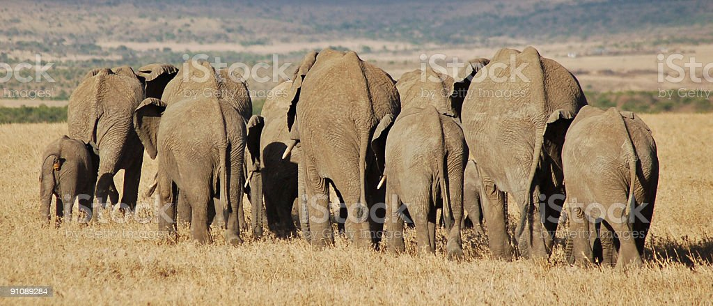 Marching elephants royalty-free stock photo