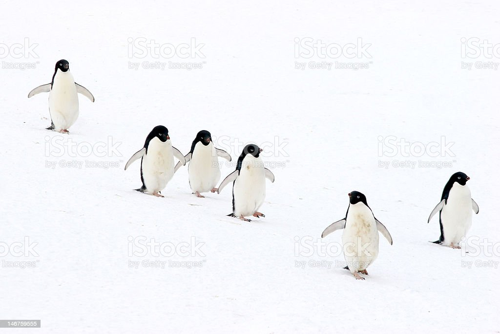 Marching Penguins stock photo