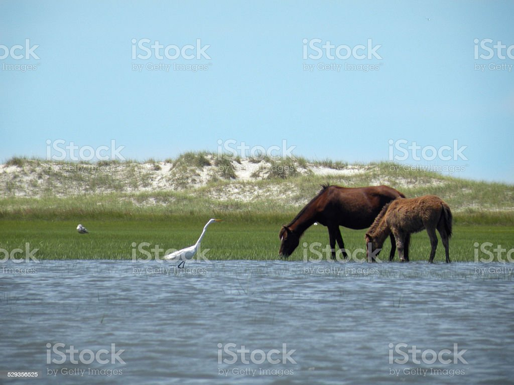 Mare and Colt Graze on Carrot Island stock photo