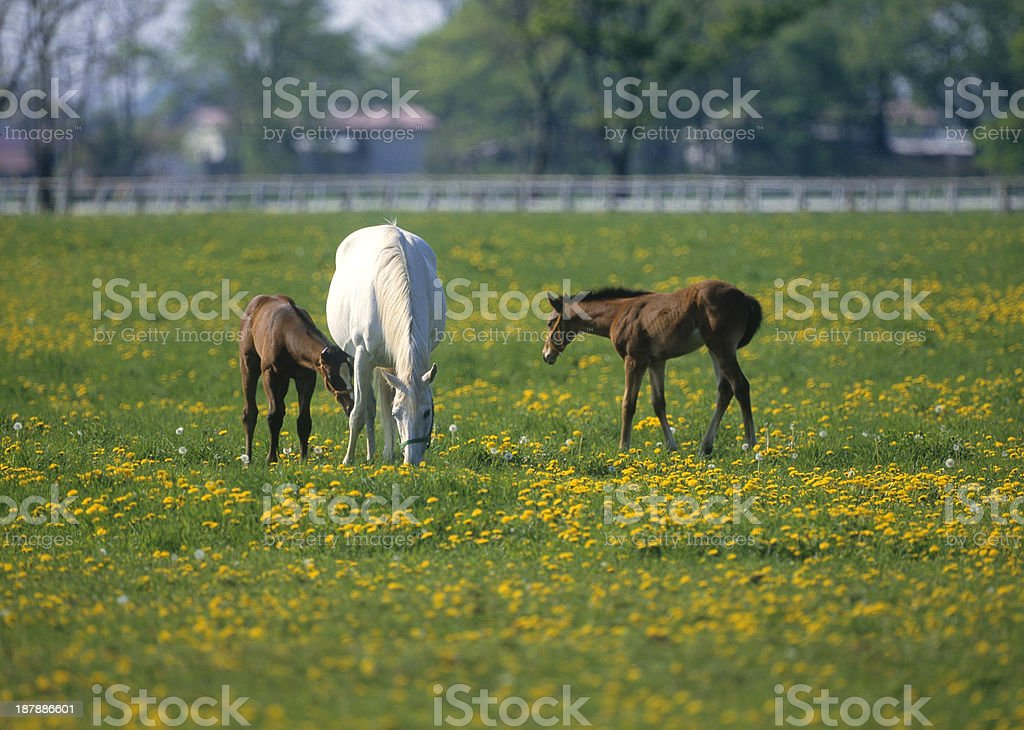 Mare and Colt on a ranch royalty-free stock photo
