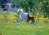 istock Mare and colt running 133983820