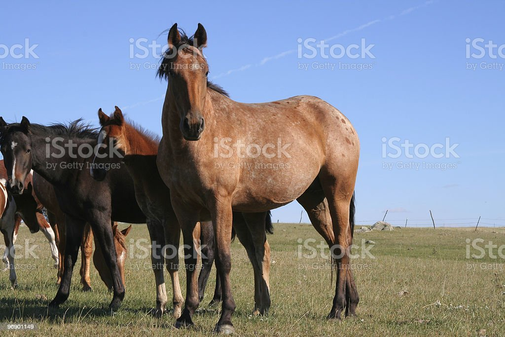 Mare and colt wondering what I have royalty-free stock photo