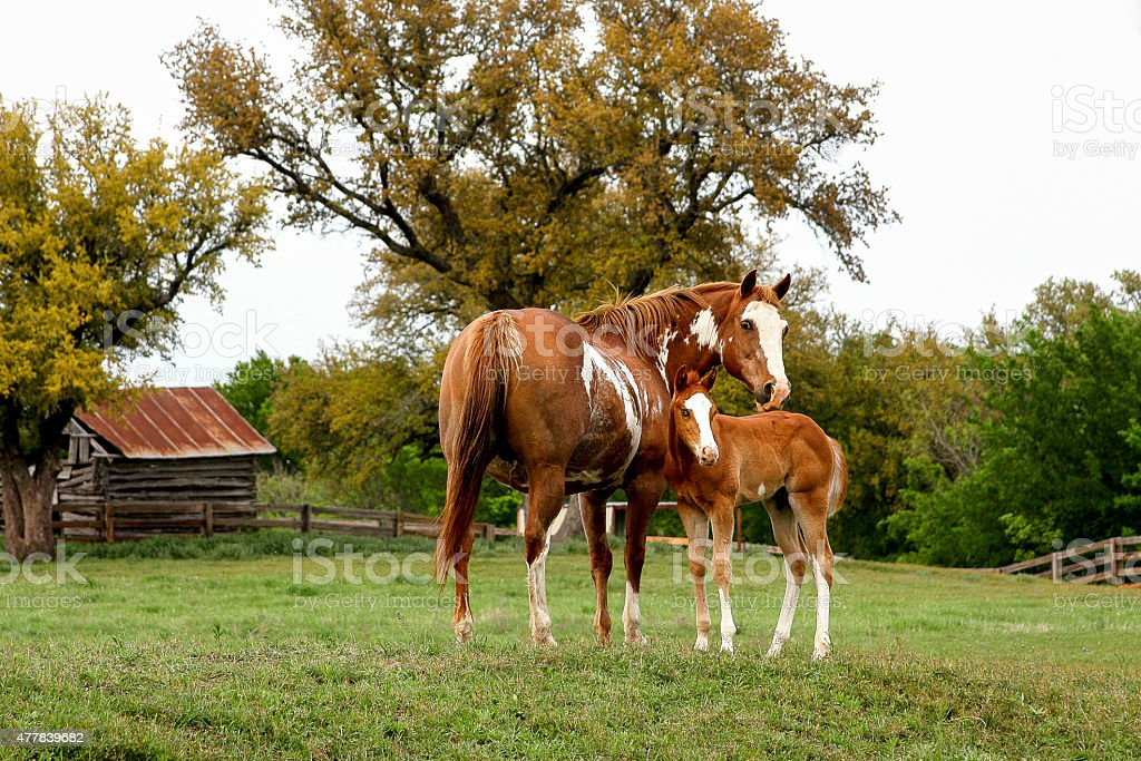 Mare and foal at ranch stock photo