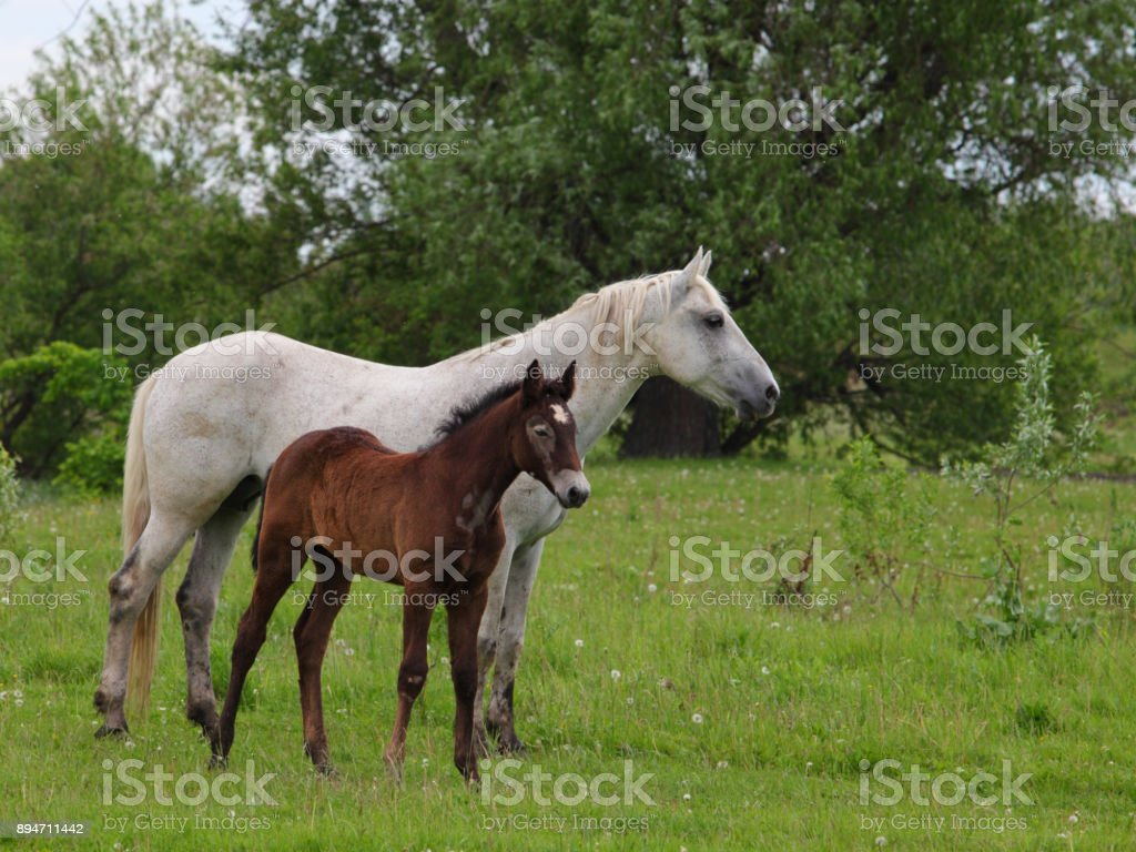 Mare and foal grazing on the marshes stock photo