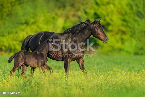Black mare and foal on spring green  meadow