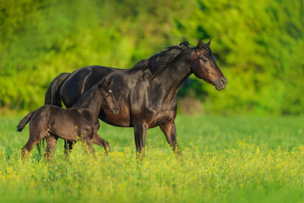 Mare and foal on pasture Black mare and foal on spring green  meadow foal young animal stock pictures, royalty-free photos & images