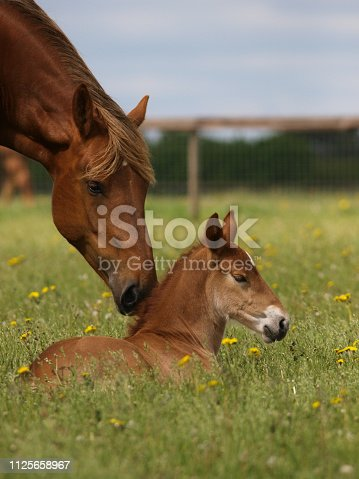 A pretty chestnut mare and her foal in a summer paddock.