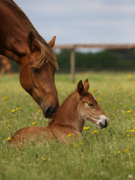 Mare and Foal A pretty chestnut mare and her foal in a summer paddock. foal young animal stock pictures, royalty-free photos & images