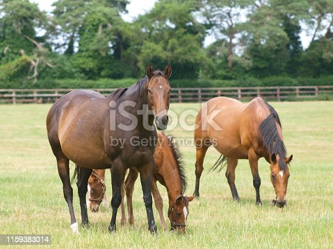 Throughbred mare and foal grazing in the paddock