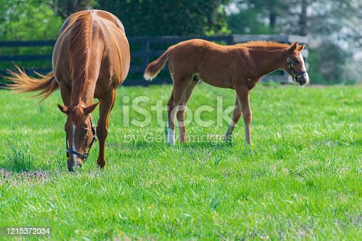Mare and foal on a Kentucky horse farm