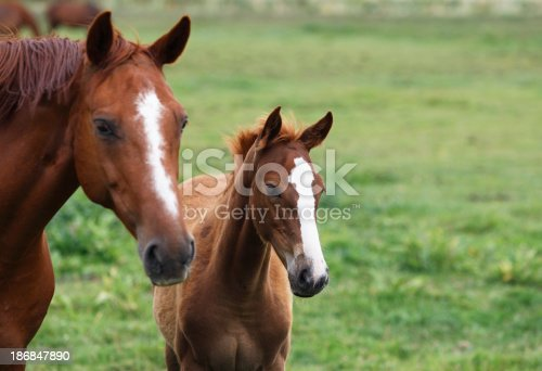 Portrait of a chestnut mare and her foal on the meadow. Shallow DOF focus on the foal. Canon eos 1D MarkIII.