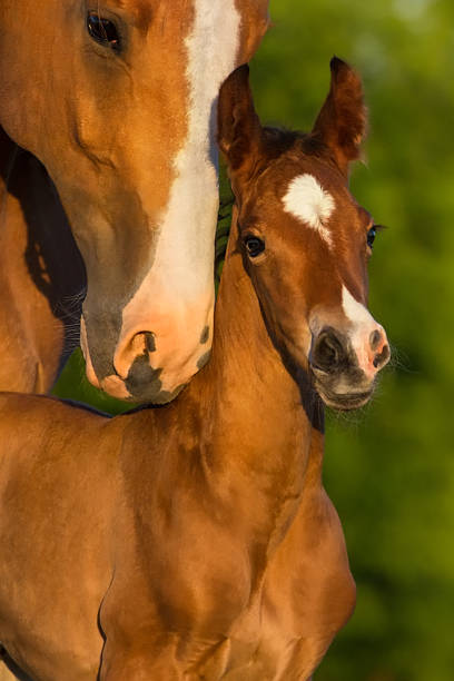 Mare and foal Portrait mare with colt at sunrise foal young animal stock pictures, royalty-free photos & images