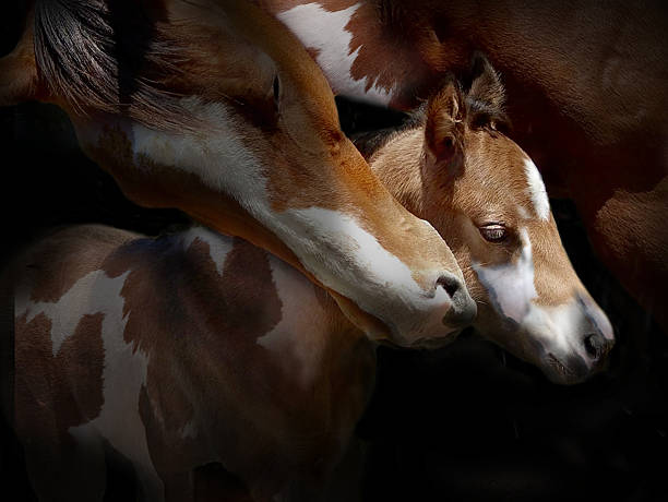 mare and foal a portrait of a mare and foal paint horse stock pictures, royalty-free photos & images
