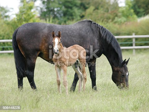 A mare and foal stand and graze in a summer paddock.