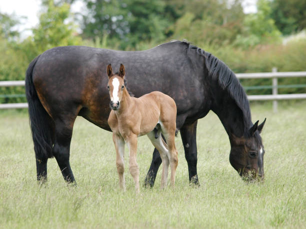 Mare and Foal A mare and foal stand and graze in a summer paddock. foal young animal stock pictures, royalty-free photos & images