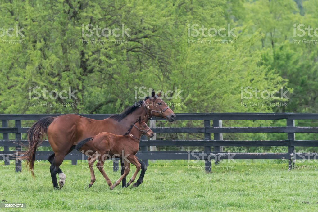 Mare and Foal Run Side By Side stock photo