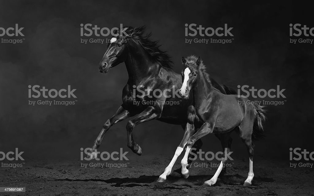Mare and her foal, black-and-white photo stock photo