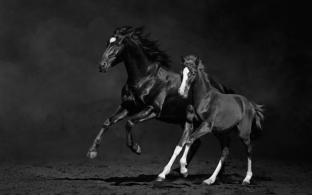 Mare et son Poulain, photo en noir et blanc - Photo