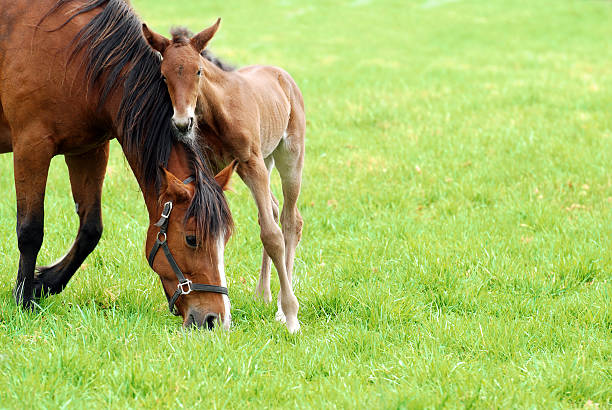 mare and her foal closeup of a mare and her foal on green grass foal young animal stock pictures, royalty-free photos & images
