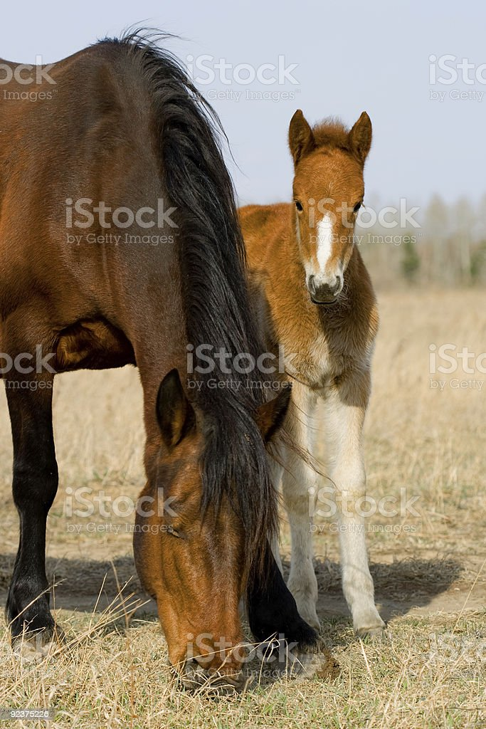 mare and hiding foal royalty-free stock photo