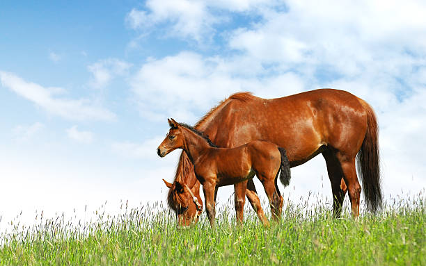 Mare beside goal in a field grazing horses in a field - realistic photomontage  foal young animal stock pictures, royalty-free photos & images