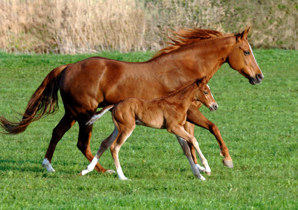 Mare horse in symmetric gallop with its foal Mare horse in symmetric gallop with its foal over pasture foal young animal stock pictures, royalty-free photos & images