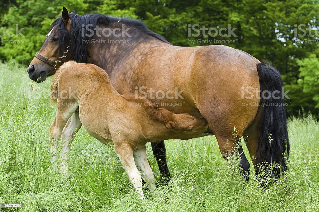 Mare nursing royalty-free stock photo