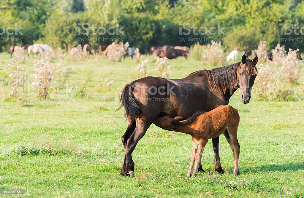 Mare stands alongside its foal stock photo