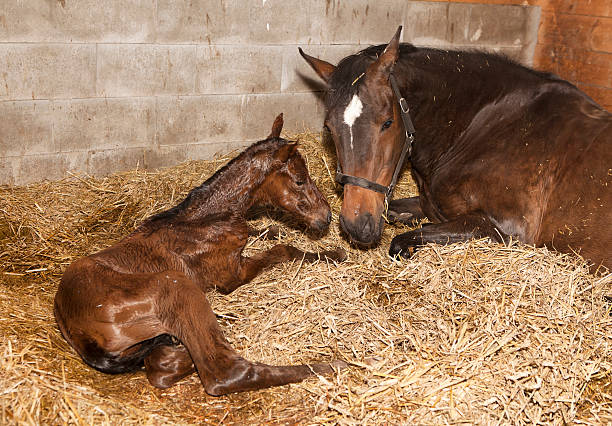 Mare with foal after birth a brown mare shortly after birth with her foal in a horse box newborn animal stock pictures, royalty-free photos & images