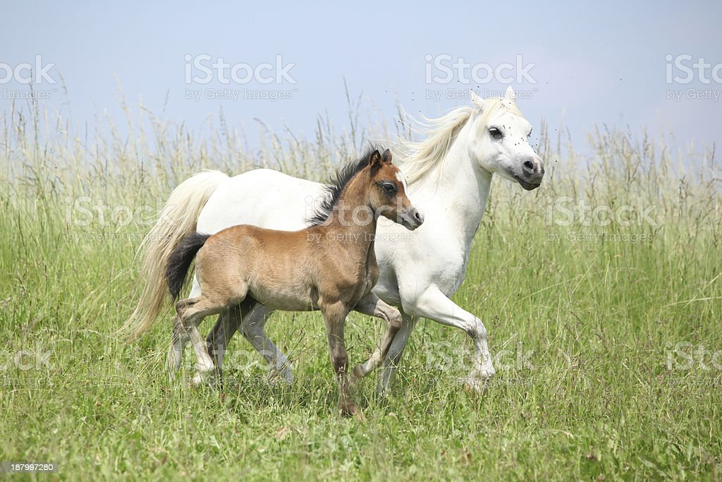 Mare with foal on pasturage stock photo