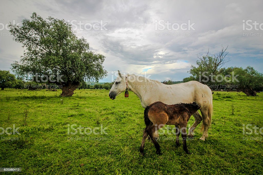 Mare with foal on the meadow zbiór zdjęć royalty-free