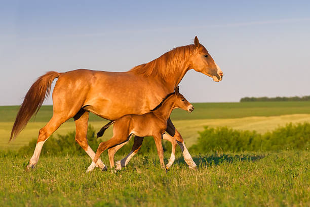 Mare with foal Mare run with colt in beautiful field at sunrise foal young animal stock pictures, royalty-free photos & images