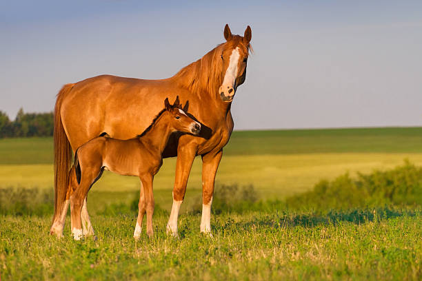 mare with foal - horse stock pictures, royalty-free photos & images