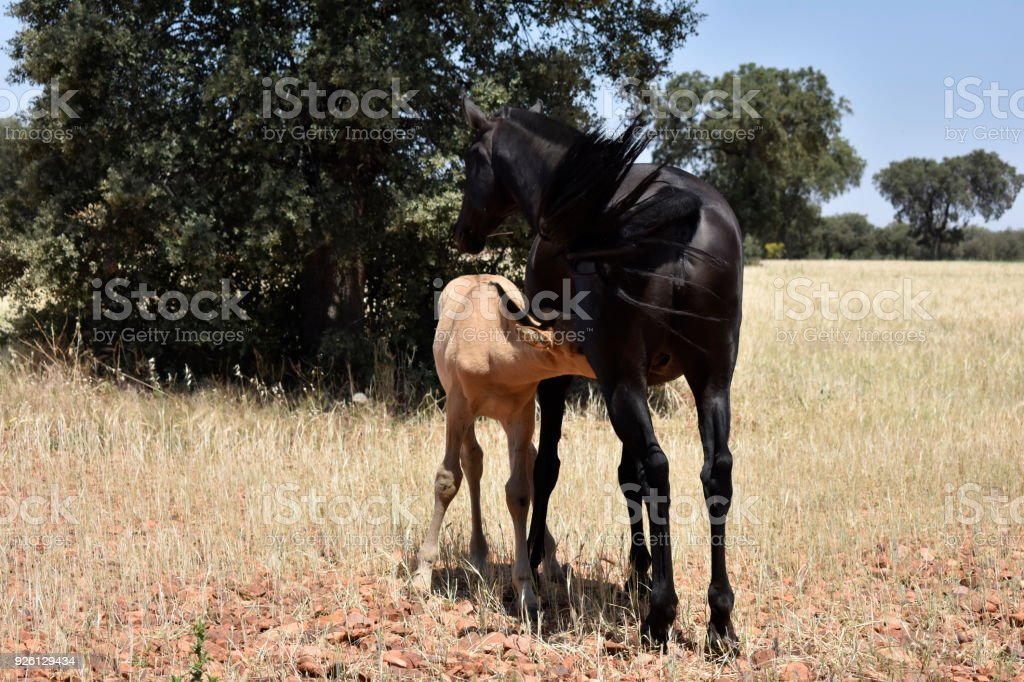 Mare with foal stock photo
