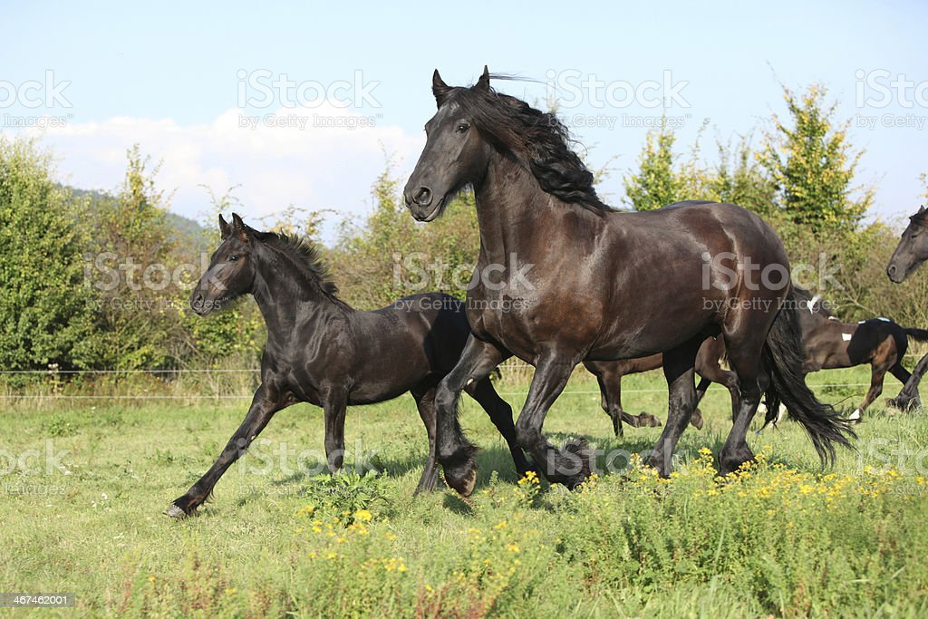 Mare with foal running in autumn stock photo