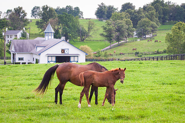 Mare with her colt on pastures of horse farms. Mare with her colt on pastures of horse farms. Country summer landscape. ranch stock pictures, royalty-free photos & images