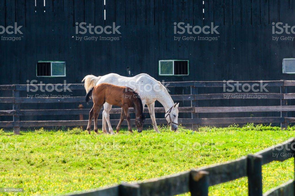 Stute mit ihrem Fohlen in Weiden von Reiterhöfen. selektiven Fokus – Foto