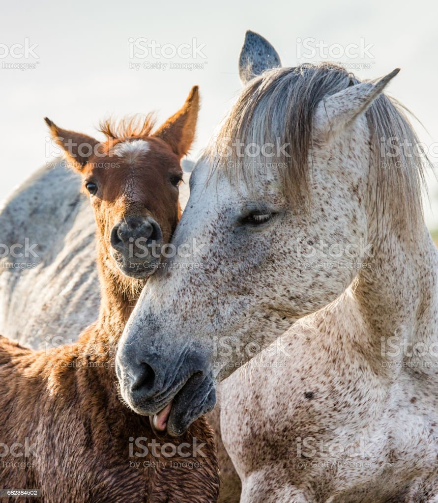 Mare with her foal. royalty-free stock photo