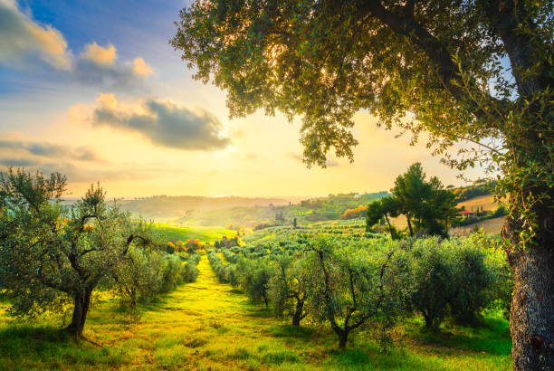 Maremma countryside panorama and olive trees on sunset. Casale Marittimo, Pisa, Tuscany Italy Maremma countryside panoramic view, olive trees, rolling hills and green fields on sunset. Sea on the horizon. Casale Marittimo, Pisa, Tuscany Italy Europe. olives stock pictures, royalty-free photos & images