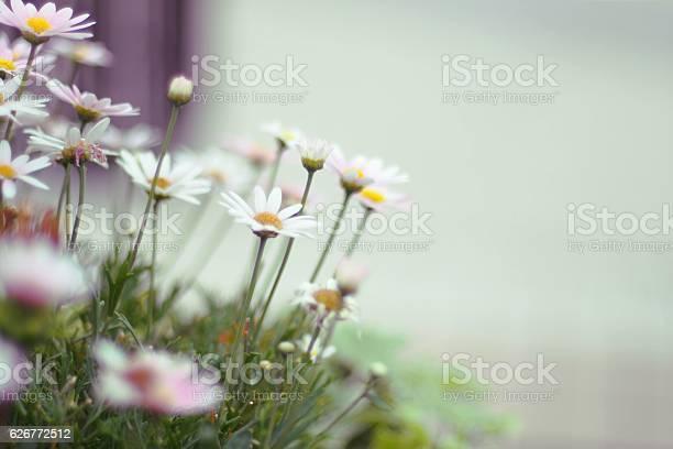 Margaret flowers picture id626772512?b=1&k=6&m=626772512&s=612x612&h=dml mpcrod6elddvtjaybhhje3wlierpxqpesrprjby=