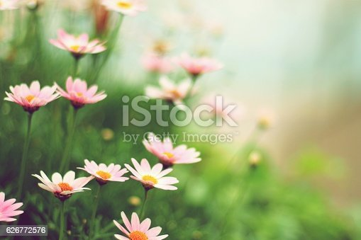 istock Margaret flowers 626772576