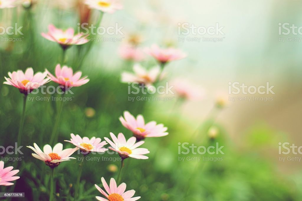 Margaret flowers stock photo