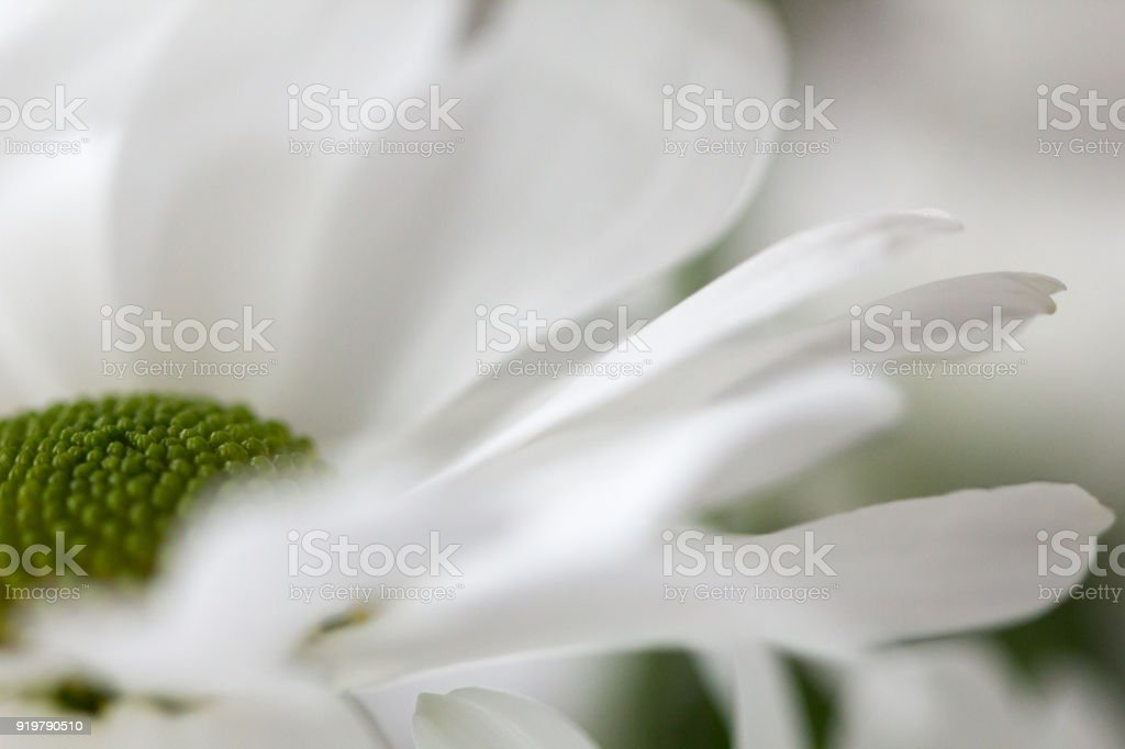 Margarita Flower In Fully Blooming Stock Photo & More Pictures of ...