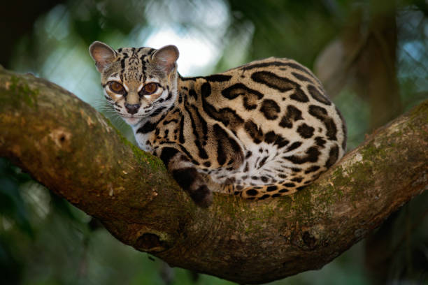 Margay, Leopardis wiedii, beautiful cat sitiing on the branch in the costarican tropical forest stock photo