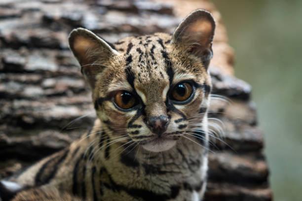 Langschwanzkatze, Leopardis wiedii – Foto