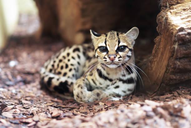 margay, leopardus wiedii, a rare south american cat - ocelot foto e immagini stock