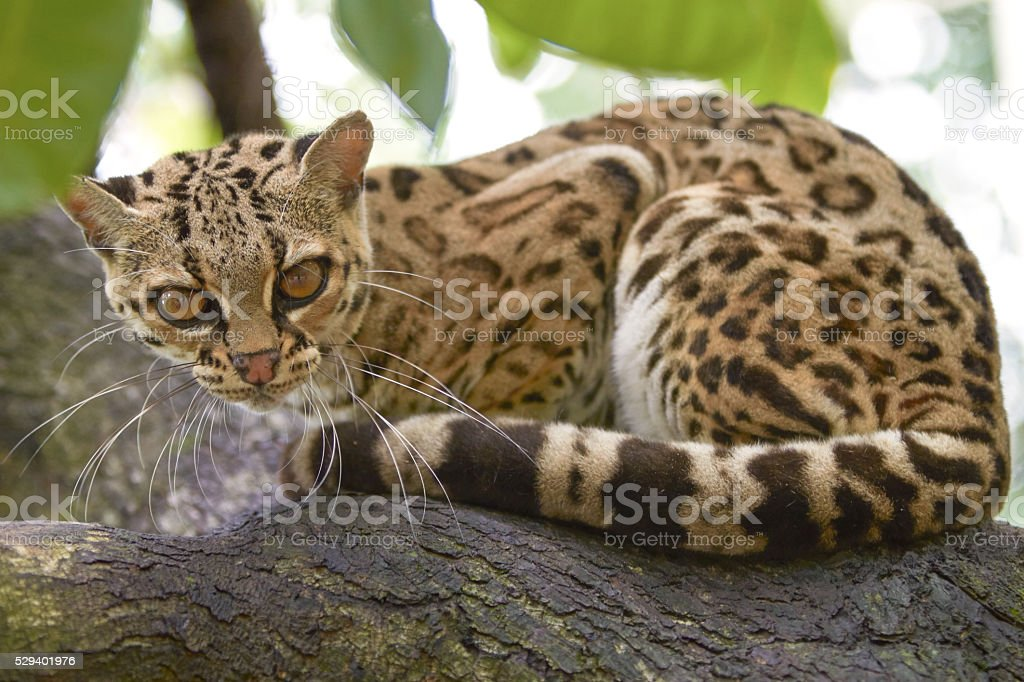 Margay sitiing on the branch in the tropical forest stock photo